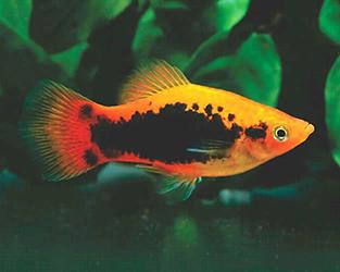 карпозубые аквариумные рыбки